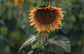 沉甸甸的向日葵花瓣
