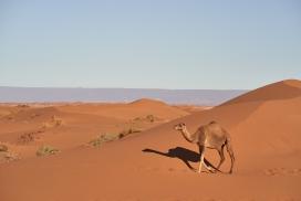游走在沙漠中的骆驼