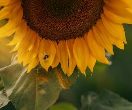 盛开的向日葵花瓣