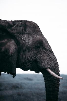 非洲大象写真