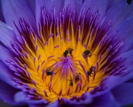睡莲上的蜜蜂