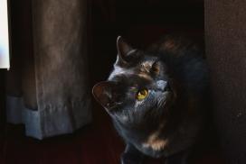 门框边上的黑色孟买猫