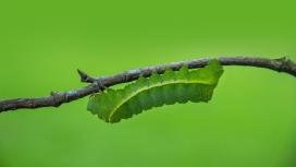 树干上的青菜绿虫
