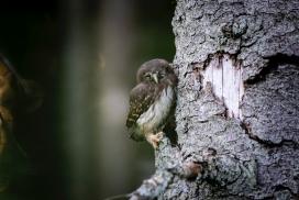 抱着树的小猫头鹰