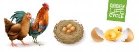 生命周期的鸡
