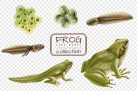 青蛙的成长一生