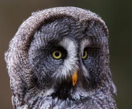 灰林鸮面部写真图