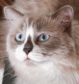 可爱的蓝眼布偶猫