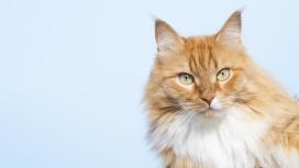 缅因猫壁纸图片