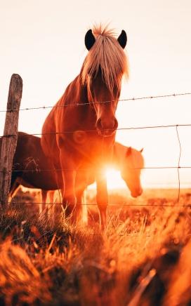 夕阳下吃草的骏马