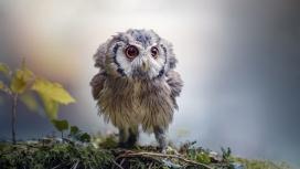 可爱的雕鸮幼鸟图