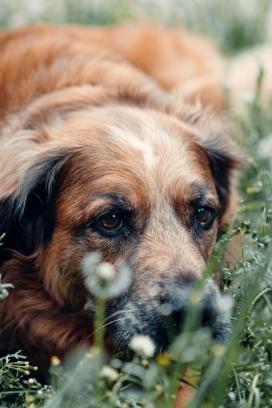 躲在花丛中的美洲猎鹿犬