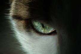缅因猫眼部特写摄影图