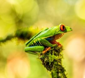 栖息在树上的丽红眼蛙