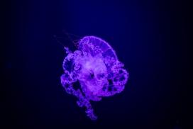 紫蓝色的水母写真图