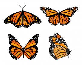 漂亮的蝴蝶标本素材