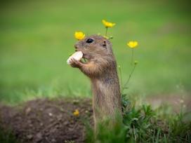 啃食的黄鼠