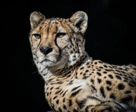 美洲豹写真图