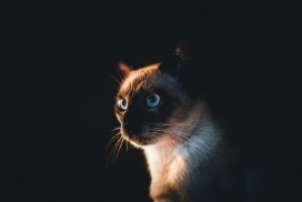 俄罗斯蓝眼猫