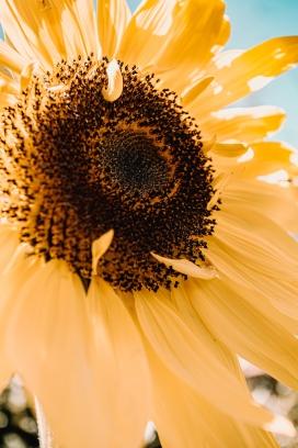 https://www.2008php.com/微黄的向日葵花瓣