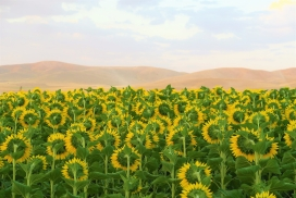 美丽的向日葵太阳花