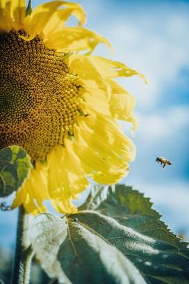 飞向向日葵的小蜜蜂