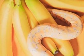 香蕉中爬行的黄金蟒