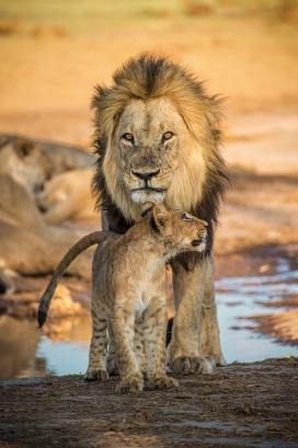 雄狮与狮子宝宝