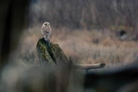 朽木上的灰林鸮