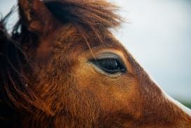 棕色骏马脸部图