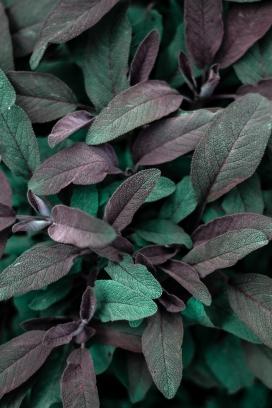 蓝紫的鼠尾草