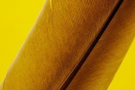 黄颜色的羽毛树叶