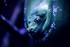 蓝色大蟒蛇