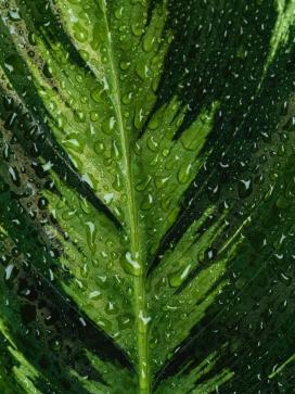 带水滴的荚果蕨绿叶