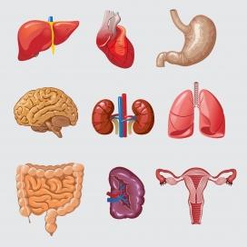 人体卡通器官集