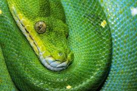绿蟒蛇图片