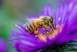 勤劳的采蜜蜜蜂