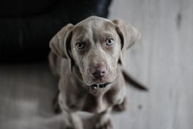 灰黑色的威玛猎犬狗