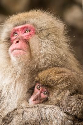 红脸猕猴亲子动物