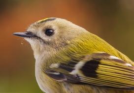 画眉鸟图片