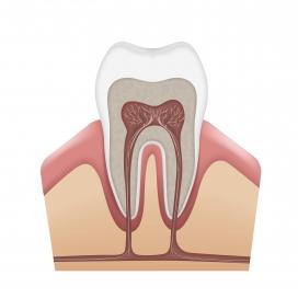 https://www.2008php.com/牙齿牙龈横切面素材下载