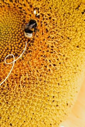 向日葵上采花蜜的蜜蜂