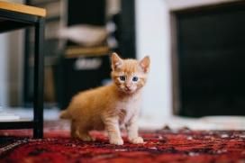 可爱的黄色小家猫