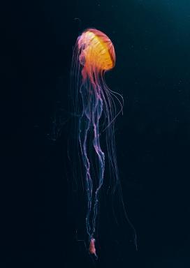 海底长须水母